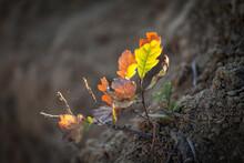 Little Oak Tree Plant Growing. Yellow Sunset Backlight