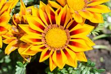 Yellow Gazania Flower Close Up.