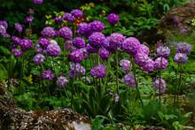 Primula Denticulata (Drumstick Primula). Garden Flower Purple Nature Natural Background Bloom Primrose