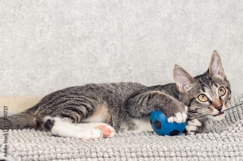 Fototapeta A striped mongrel kitten plays with a blue small ball.