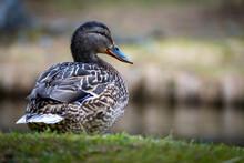 Closeup Shot Of A Cute Brown Duck