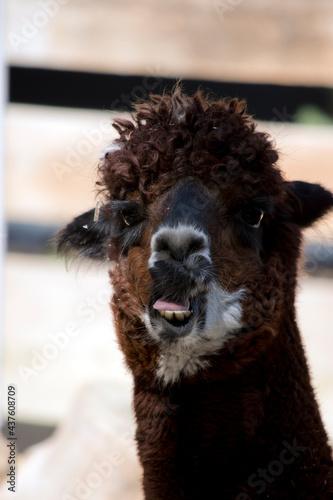Fototapeta premium this is a close up of an alpaca
