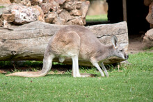 This Is A Young Male Red Kangaroo
