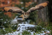 A Great Strong Brown Owl With Huge Red Eyes Flying Through The Forest Directly To The Photographer On A Red And Green Trees Background. Eurasian Eagle Owl, Bubo Bubo.