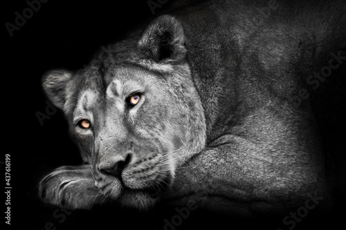 Ash moonlit with ebony eyes a muscular lioness lies in profile a muzzle and a po Fototapeta