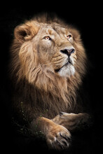 A Powerful Male With A Magnificent Mane Proudly Look Like A King On A Black Background Isolated In A Half Turn