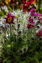 Pulsatilla Easter Flower On The Rock Alpine Garden. Pulsatilla Pratensis Blooming