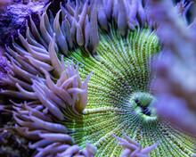 Rock Flower Anemone, Green And White