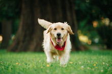 Portrait Of An Adorable Golden Retriever With A Red Bandana In A Park With A Blurry Background
