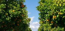 View From Below Of Several Orange Trees And The Blue Sky In The Background. Field Or Plantation Of Orange Trees. Oranges Ready To Be Harvested And Picked From The Tree.