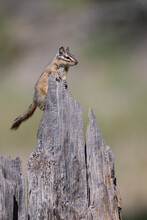 Golden Mantled Ground Squirrel On A Old Tree Stump In Sierra Valley In Northern California