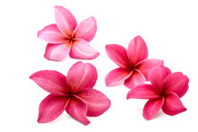 Blossom Red Plumeria Or Frangipani Flowers Isolated On White Background.