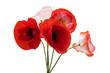 beautiful poppy flower isolated