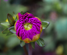 Garden Dahlia Early Bloom. Dahlias Are The Official Flowers Of Mexico