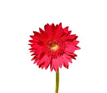 Red Gerbera Or Barberton Daisy Flower Blooming Close Up With Green Stem Isolated On White Background , Clipping Path