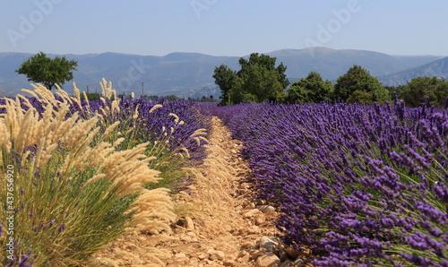 Lignes de culture du lavandin de Provence #437656920