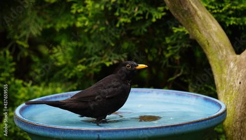 Fototapeta premium blackbird in the bird bath