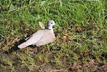 A Eurasian Collared Dove Sunbathing In Green Grass