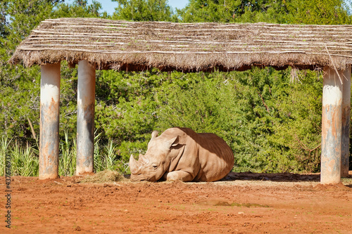 Fotografiet Natural view of a large rhinoceros lying under a shed in captivity