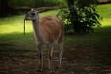 Fototapeta Zwierzęta - zwierzę jedzące gałązki