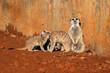 Leinwandbild Motiv Meerkat (Suricata suricatta) family basking in the sun, South Africa.