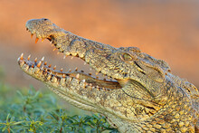 Portrait Of A Large Nile Crocodile (Crocodylus Niloticus) With Open Jaws, Kruger National Park, South Africa.