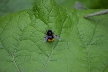 Bumblebee Forest Hover Fly