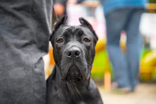 Portrait Of Young Cane Corso Dog Sitting Next To Owner On The Street During A Walk, Blurred Background. Docile Pet Obediently Waits Or Guards Person, Close Up, Front View