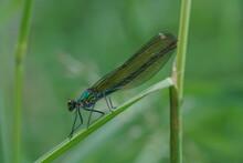 Schön Gefärbte Gebänderte Prachtlibelle (Calopteryx Splendens) Auf Dem Blatt Eines Gras Halmes Sitzend Und Sich Ausruhend