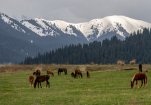 Harras Of Brown Horses And Foals Grazing On A Meadow Field