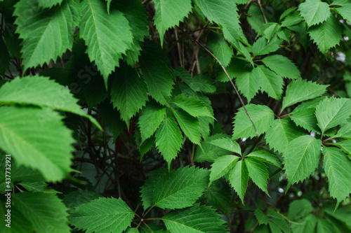 green thickets of grapes in the garden Fototapeta