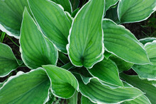 Large Green Leaves Close Up