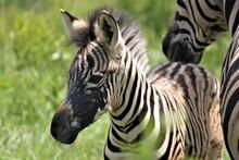 Young Zebra Calf