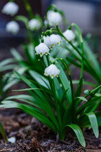 Leucojum Vernum Is Spring White Flower Is An Early-flowering Plant That Looks Like A Snowdrop. Leucojum Vernum Is A Perennial Bulbous Plant. Galanthus Vernus, Nivaria Verna, Erinosma Verna