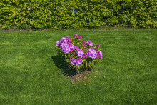 Beautiful View On Purple Bush Of Rhododendron On A Green Background. Great Natural Backgrounds. Sweden.