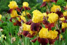 Border Bearded Iris 'Andalou' In Flower