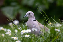 Partial View Of Collared Dove Bird In The Grass In The Garden