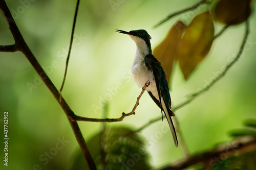 Fototapeta premium Purple-crowned fairy Heliothryx barroti large hummingbird that breeds in the lowlands and hills from southeastern Mexico south to Ecuador, sitting on the green tree in Costa Rica jungle