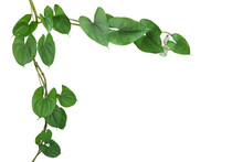 Twisted Vine Liana Plant With Heart Shaped Green Leaves Of Purple Yam Or Winged Yam (Dioscorea Alata) The Tropic Forest Plant Nature Frame Jungle Border Isolated On White Background With Clipping Path