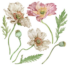Watercolor Hand-drawn Illustration Of Iceland Pink And White Poppies Flowers And Green Leaves. Beautiful Florals