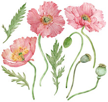 Watercolor Hand-drawn Illustration Of Iceland Pink Poppies Flowers And Green Leaves. Beautiful Florals.
