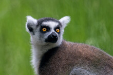 Lemurs Live And Have Fun In The Zoo