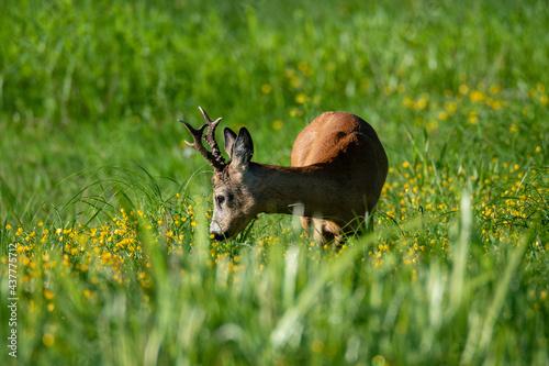 Obraz na plátně Roe deer at meadow eating grass
