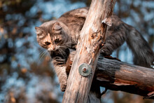 Cute Gray Cat On A Walk Climbs On A Wooden Structure