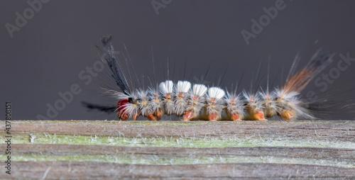 Fotografía White marked tussock moth (Orgyia leucostigma) caterpillar
