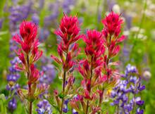 Closeup Of Beautiful Indian Paintbrush Against Purple Lupine Wildflowers At Mt. Rainier National Park In Washington State