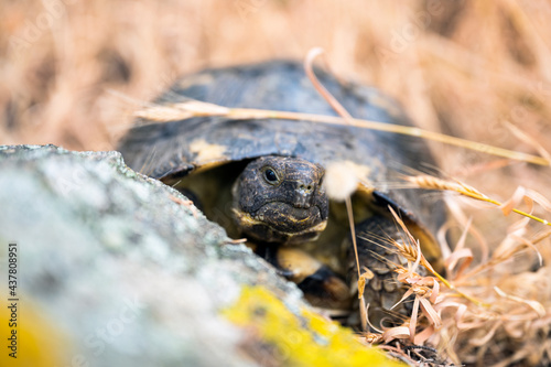 (Selective focus) Stunning view of a Sardinian Marginated Tortoise walking in the wild. The marginated tortoise (Testudo marginata) is a species of tortoise in the family Testudinidae.
