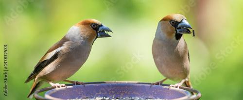Fotografia Two little songbirds sitting on a bird feeder