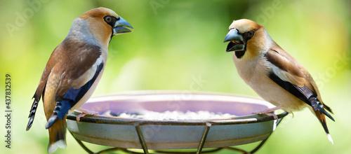 Fotografia, Obraz Two little songbirds sitting on a bird feeder