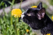 A Magnificent Cat In The Meadow Sniffs A Yellow Dandelion.